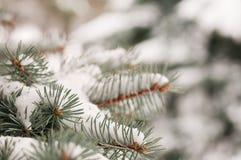 Κλάδος των μπλε ερυθρελατών και του χιονιού Στοκ φωτογραφία με δικαίωμα ελεύθερης χρήσης