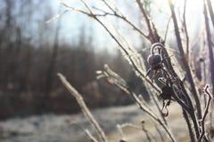 Κλάδος των ξηρών ροδαλών ισχίων λαμβάνοντας υπόψη ένα παγωμένο πρωί Στοκ Φωτογραφία