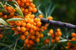 Κλάδος των πορτοκαλιών μούρων λευκαγκαθιών Στοκ Φωτογραφίες