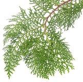 Κλάδος των πράσινων φύλλων κωνοφόρων που απομονώνονται στο άσπρο υπόβαθρο στοκ εικόνα