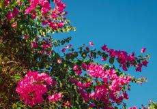 Κλάδος των ρόδινων λουλουδιών bougainvillea στο υπόβαθρο μπλε ουρανού Στοκ φωτογραφία με δικαίωμα ελεύθερης χρήσης