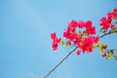 Κλάδος των όμορφων λουλουδιών bougainvillea με το backgrou μπλε ουρανού Στοκ φωτογραφία με δικαίωμα ελεύθερης χρήσης