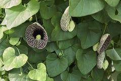 Κλάδος των littoralis Aristolochia Στοκ Φωτογραφίες