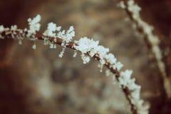 Κλάδος χειμερινών σορβιών στο χιονισμένο κολόβωμα Στοκ Εικόνα