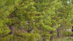 Κλάδος χριστουγεννιάτικων δέντρων χιονιού στο χειμερινό πάρκο Χιονοπτώσεις στον κλάδο πεύκων Κλείστε αυξημένος σε 4k UHD απόθεμα βίντεο