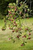 Κλάδος Appletree με τα μέρη των μήλων Στοκ Εικόνα