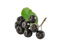 κλάδος chokeberry Στοκ φωτογραφία με δικαίωμα ελεύθερης χρήσης