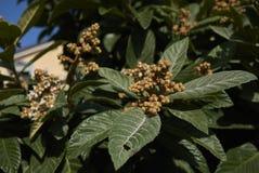 Κλάδος japonica Eriobotrya Στοκ Εικόνες