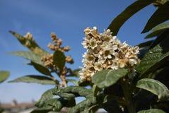 Κλάδος japonica Eriobotrya Στοκ εικόνες με δικαίωμα ελεύθερης χρήσης