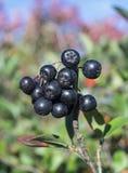 Κλάδος rowanberry στο φύλλο υποβάθρου Στοκ Εικόνες