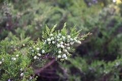Κλάδος Thuja στο φυσικό πράσινο υπόβαθρο στοκ εικόνα με δικαίωμα ελεύθερης χρήσης