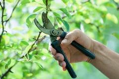 Κλάδευμα των δέντρων με secateurs Στοκ φωτογραφία με δικαίωμα ελεύθερης χρήσης