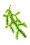 Κλάδος βρύου λεσχών (Lycopodium Clavatum) Στοκ Εικόνες