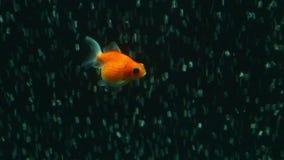 Κλίμακα Goldfish μαργαριταριών