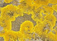 κλίμακες λειχήνων κίτριν&epsi Στοκ εικόνες με δικαίωμα ελεύθερης χρήσης