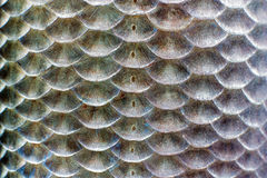 Κλίμακες των ψαριών Στοκ Εικόνα