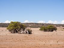 Κλίνοντας δέντρα, camaldunlensis ευκαλύπτων, Geraldton Greenough, δυτική Αυστραλία στοκ εικόνες