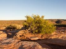 Κλίνοντας δέντρο, εθνικό πάρκο Kalbarri, δυτική Αυστραλία Στοκ Εικόνες