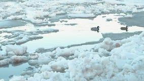 Κλίση πάγου στον ποταμό Κινούμενοι επιπλέοντες πάγοι πάγου κοντά επάνω Πάπιες στον ποταμό φιλμ μικρού μήκους