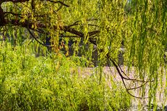 Κλαίγοντας το δέντρο ιτιών δείτε κατευθείαν στοκ φωτογραφίες με δικαίωμα ελεύθερης χρήσης