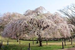 Κλαίγοντας το δέντρο κερασιών σε Sakura κανένα sato Στοκ Φωτογραφία