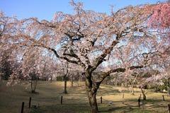 Κλαίγοντας το δέντρο κερασιών σε Sakura κανένα sato Στοκ φωτογραφία με δικαίωμα ελεύθερης χρήσης