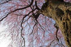 Κλαίγοντας το δέντρο κερασιών σε Sakura κανένα sato Στοκ Εικόνα