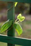 κλαδάκι αναρριχητικών φυτ στοκ φωτογραφία