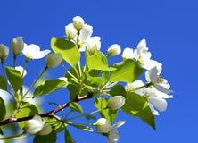 Κλαδάκι ενός λουλουδιού Apple-δέντρων σε ένα κλίμα μπλε ουρανού Στοκ εικόνα με δικαίωμα ελεύθερης χρήσης