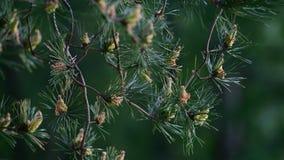 Κλαδάκι του πεύκου με τους νέους κώνους την άνοιξη φιλμ μικρού μήκους