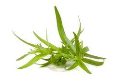 Κλαδάκι του τραχουριού που απομονώνεται σε ένα άσπρο υπόβαθρο Artemisia dracunculus Στοκ Εικόνα