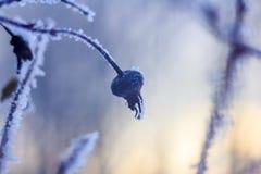 Κλαδάκι το χειμώνα, κλαδίσκος στο χιόνι Στοκ φωτογραφίες με δικαίωμα ελεύθερης χρήσης