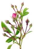 Κλαδίσκοι άνοιξη των ακανθωδών τραχιών τριαντάφυλλων κήπων με ένα μικρό ροζ Στοκ εικόνα με δικαίωμα ελεύθερης χρήσης