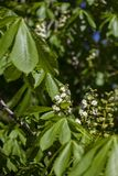 Κλαδίσκοι με τα πράσινα νέα φύλλα και μη ανθισμένο κάστανο λουλουδιών από τον ήλιο στοκ φωτογραφίες