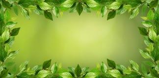 Κλαδίσκοι με τα φρέσκα πράσινα φύλλα σε ένα πλαίσιο Στοκ Εικόνα