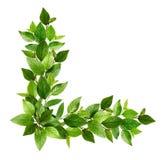 Κλαδίσκοι με τα φρέσκα πράσινα φύλλα σε μια ρύθμιση γωνιών Στοκ Εικόνες