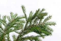 κλαδίσκος δέντρων έλατου Στοκ Φωτογραφία
