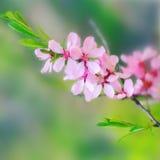 κλαδίσκος δέντρων μηλιάς στοκ εικόνα
