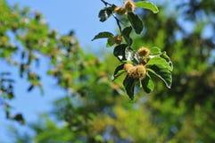 Κλαδίσκος ενός δέντρου οξιών με τα φρούτα στοκ φωτογραφία με δικαίωμα ελεύθερης χρήσης