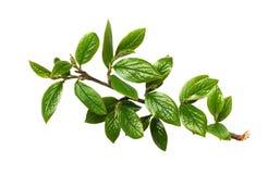Κλαδίσκος με τα πράσινα φύλλα στοκ εικόνες