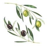 Κλαδί ελιάς Watercolor που απομονώνονται στο άσπρο υπόβαθρο Στοκ εικόνα με δικαίωμα ελεύθερης χρήσης