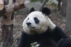 Κλείνω-επάνω στη χνουδωτή γιγαντιαία Panda σε Chengdu, Κίνα Στοκ Εικόνα