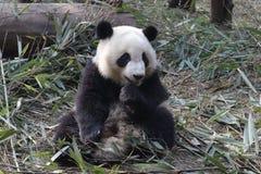 Κλείνω-επάνω στη χνουδωτή γιγαντιαία Panda σε Chengdu, Κίνα Στοκ εικόνες με δικαίωμα ελεύθερης χρήσης