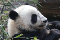 Κλείνω-επάνω στη χνουδωτή γιγαντιαία Panda σε Chengdu, Κίνα Στοκ φωτογραφία με δικαίωμα ελεύθερης χρήσης