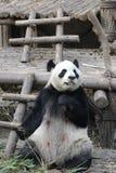 Κλείνω-επάνω στη χνουδωτή Panda αντέξτε σε Chengdu, Κίνα Στοκ Εικόνα