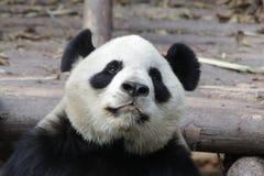 Κλείνω-επάνω στη χνουδωτή Panda αντέξτε σε Chengdu, Κίνα Στοκ Φωτογραφίες