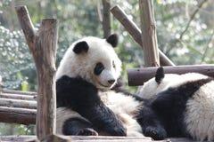 Κλείνω-επάνω στη χνουδωτή Panda αντέξτε σε Chengdu, Κίνα Στοκ εικόνες με δικαίωμα ελεύθερης χρήσης