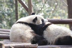 Κλείνω-επάνω στη χνουδωτή Panda αντέξτε σε Chengdu, Κίνα Στοκ Εικόνες