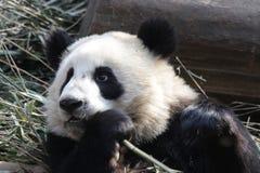 Κλείνω-επάνω στη χνουδωτή Panda αντέξτε σε Chengdu, Κίνα Στοκ φωτογραφία με δικαίωμα ελεύθερης χρήσης