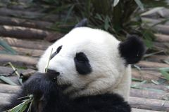 Κλείνω-επάνω στο χνουδωτό γίγαντα η Panda τρώει τα φύλλα μπαμπού με Cub της, Chengdu, Κίνα Στοκ φωτογραφία με δικαίωμα ελεύθερης χρήσης